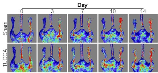 ▲실험쥐에 TUDCA를 투여했을 때 줄기세포로 인한 혈관 생성과 복원 과정.[사진제공=미래부]