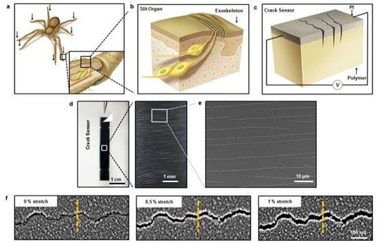 ▲거미 감각기관의 기능을 이용한 초고감도 균열 센서가 개발됐다.[사진제공=미래부]