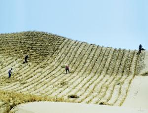 ▲중국 정부는 사막화와 먼지를 방지하기 위해 나무심기에 나섰다.[사진제공=뉴사이언티스트]