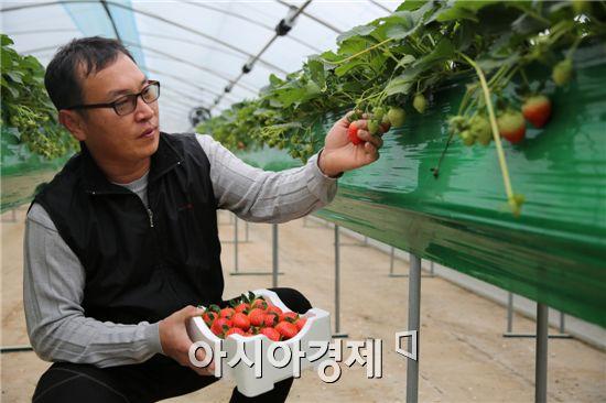 한 농부가 새콤달콤한 딸기를 수확하고 있다.