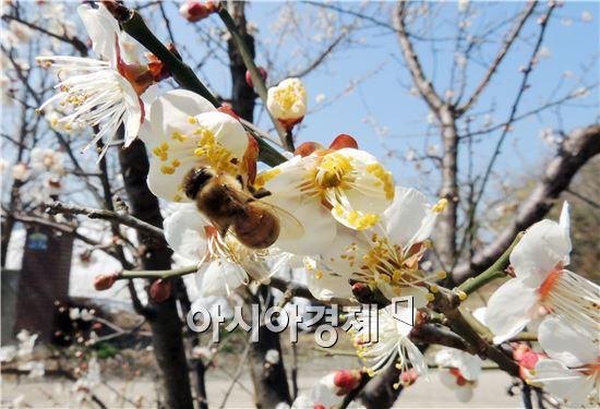 꿀벌이 꿀 채취를 위해 매화꽃 주변을 분주히 움직이고 있다. 사진 = 아시아경제 DB