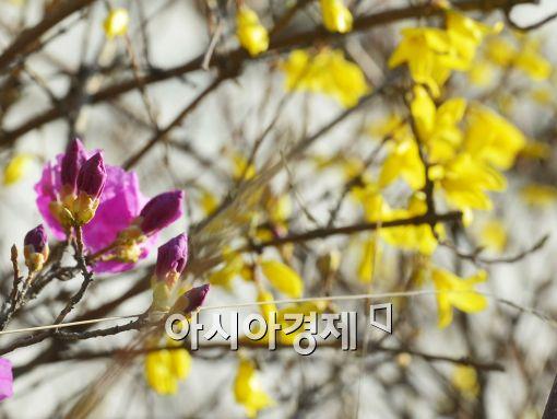 완연한 봄기운… 개나리·진달래·벚꽃, 전국 '봄꽃 개화시기'는?