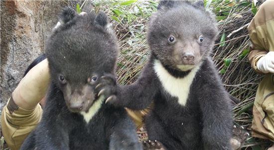 지리산 반달가슴곰 새끼(사진= 아시아경제 DB)