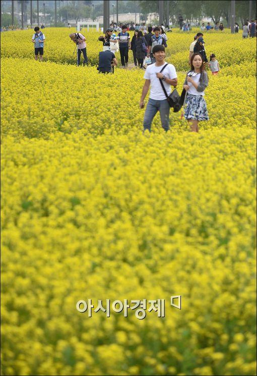 [포토]반포 서래섬에서 유채꽃 축제