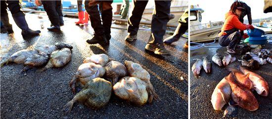 거진항에 어판장에서 경매를 기다리는 도치(왼쪽)와 곰치