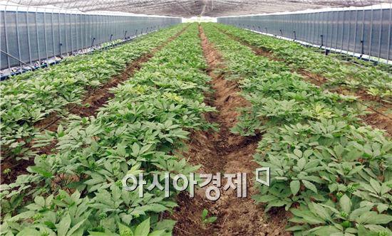 곡성군(군수 유근기)이 친환경인삼 재배단지를 20ha까지 확대 조성해 프리미엄급 유기농인삼 시장을 선점할 계획이다.