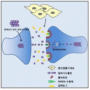 ▲NMDA 수용체를 통해 다른 뇌 세포로 전파되는 알파시누클린을 중간엽줄기세포에서 분비된 갈렉틴-1이 억제하는 과정.[사진제공=연세세브란스병원]
