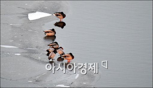 [포토]포근해진 날씨 반기는 청둥오리