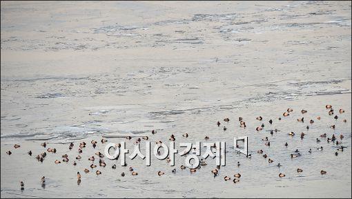 [포토]동장군 주춤…반기는 청둥오리