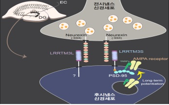 ▲LRRTM3 단백질이 흥분성 시냅스에 영향을 미치는 것으로 밝혀졌다.[사진제공=미래부]