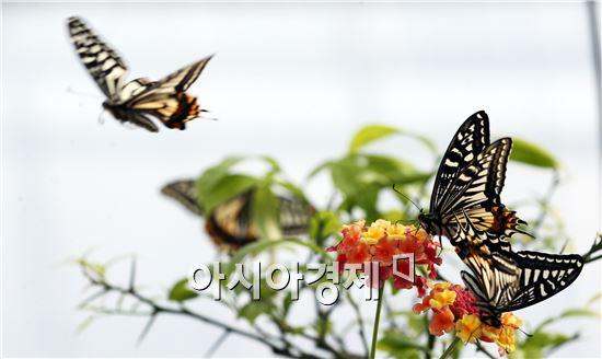 입춘을 사흘 앞둔 1일 함평군농업기술센터에서 호랑나비가 황홀한 날갯짓으로 이른 봄소식을 전하고 있다. 이곳에서 사육한 25종 15만 마리의 나비는 오는 4월 제18회 함평나비대축제에서 화려한 자태를 뽐낸다. 사진제공=함평군