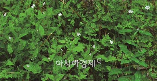 <석죽과 개별꽃속 '긴개별꽃'>