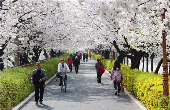 중랑천 벚꽃길