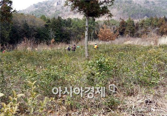 장흥군이 지역 곳곳에 자생하고 있는 야생녹차 밭을 정비에 나섰다.