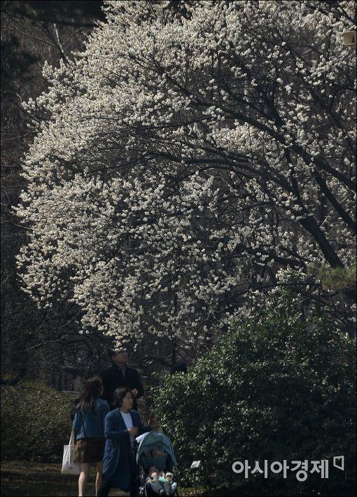 [포토]만개한 매화 나무 아래