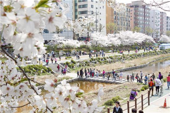 불광천 벚꽃축제