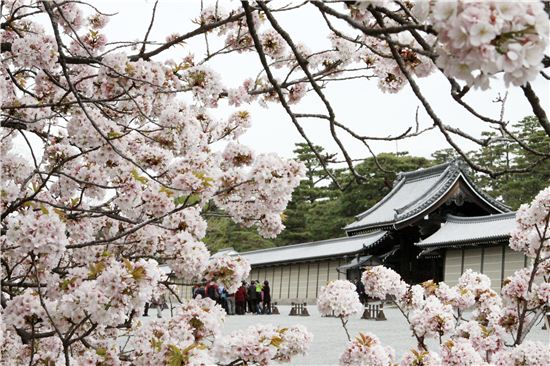 곳곳에 만개한 벚꽃으로 봄을 맞는 교토.