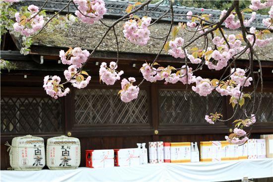 교토의 밤 벚꽃놀이 명소로 꼽히는 히라노진자. 벚꽃신사라 불린다.