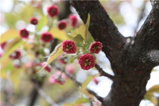 히라노진자에는 짙은 붉은빛의 아기 겹벚꽃이나 연둣빛의 벚꽃 등 진귀한 벚꽃이 핀다.