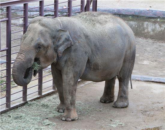 ▲아시아코끼리