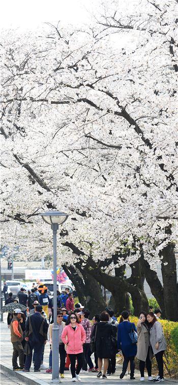 경기도청 벚꽃축제