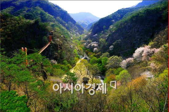 순창 강천산에 벚 꽃 등이 만개하는 등 다양한 볼거리를 선물하며 봄철 관광객이 급증하고 있다.