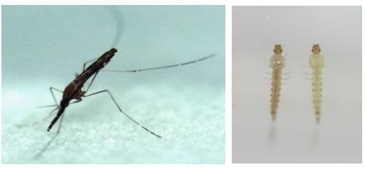 ▲'말라리아' 일으키는 중국얼룩날개모기 암컷 성충(좌)과 유충.[사진제공=질병관리본부]