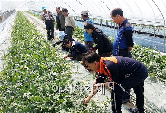정읍시농업기술센터가 씨 없는 컬러수박(이하 컬러수박)의 품질 향상에 총력을 쏟고 있다.