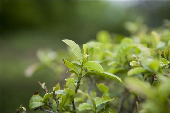 정직한 농부의 손길로 키워지는 유기농 녹차.