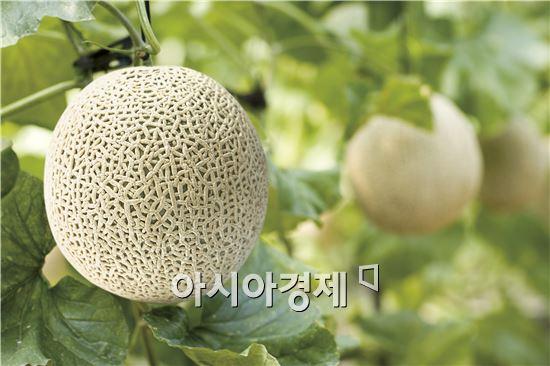 전남 곡성군(군수 유근기)의 대표적 소득 작목인 멜론이 5월 19일 수확을 시작으로 본격 출하된다.