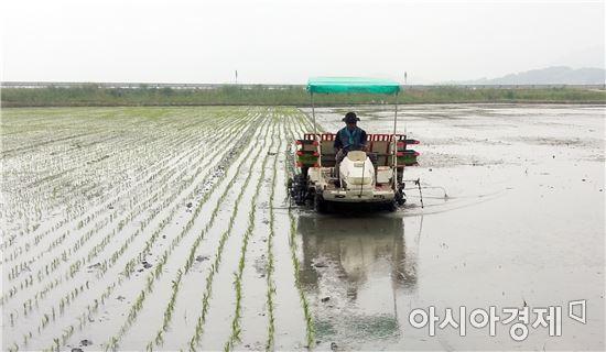 해남군 '뜬섬'108ha 친환경 쌀 재배 본격 시작