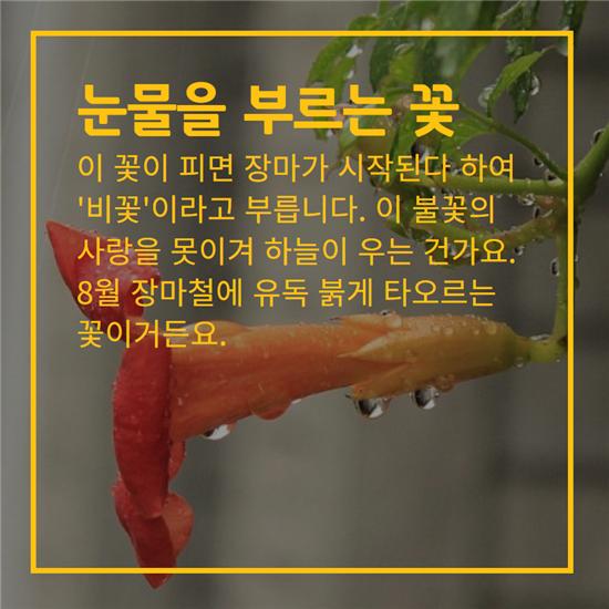 [카드뉴스]덕혜옹주를 닮은 꽃, 능소화