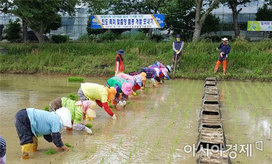진도군 '검정쌀 품종 개량' 실증 시험 순조