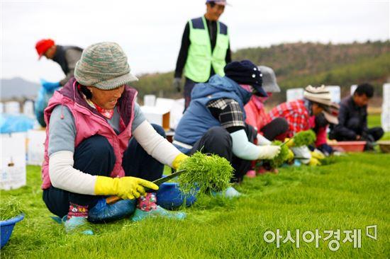 예락마을 특산품 세발나물 수확