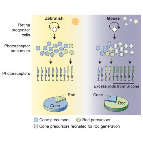 ▲포유동물(쥐)에서 간상세포의 수가 특이적으로 증가하는 방향으로 진화했다.[사진제공=한국연구재단]