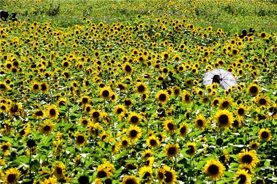 노란 해바라기가 아득하게 핀 풍경은 몽환적이다. 구와우 마을은 국내에서 해바라기가 가장 흐드러지게 핀다. 화려하게 몸을 열어젖힌 해바라기꽃 사이를 거닐면 누구나 화폭의 주인공이 된다.
