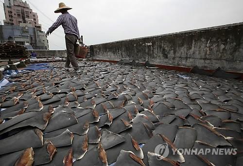 홍콩의 한 공장 옥상에서 상어 지느러미를 말리고 있다. (AP=연합뉴스)