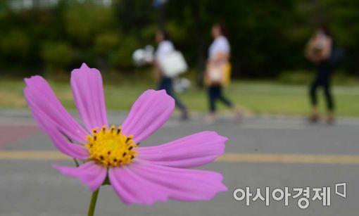 [포토]코스모스와 가을나들이