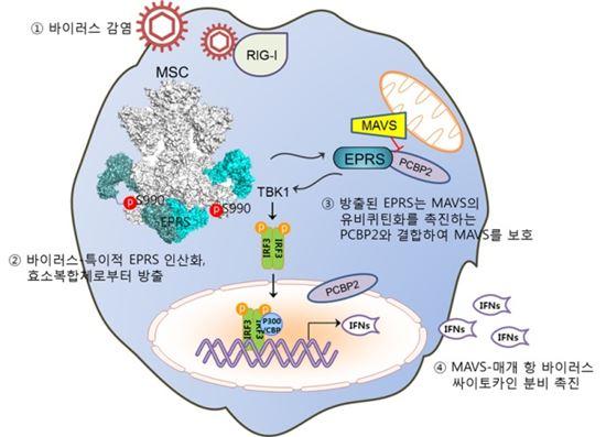 ▲국내연구팀이 효소복합체(MSC)로부터 방출된 EPRS 단백질의 항바이러스 면역 활성 기전을 밝혀냈다.[사진제공=한국생명공학연구원]