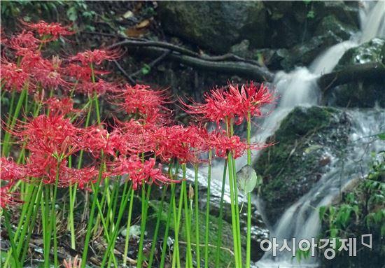 [포토]화사한 꽃무릇과 시원한 폭포수의 조화