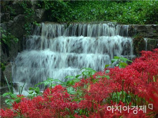 [포토]붉디 붉은 꽃무릇의 유혹