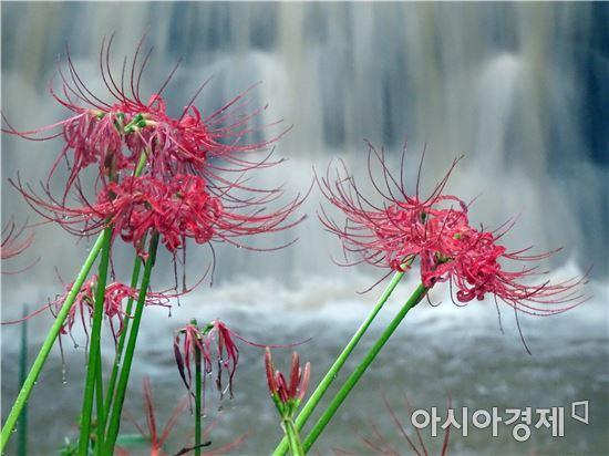"""[포토]아름다운 자태 뽐내는 애절한  """"꽃무릇"""""""