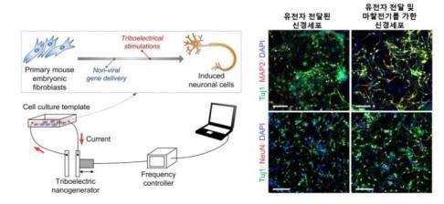 ▲마찰전기 발전소자 기반 신경세포 직접교차분화 플랫폼의 개념도.[사진제공=한국연구재단]