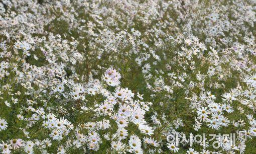 제14회 정읍 구절초 꽃축제 '화려한 개막'