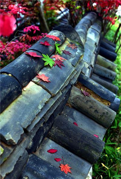 정답게 이야기를 나눈다는 뜻의 화담숲 한옥 담벽락에 울긋불긋 단풍잎이 떨어져 가을 정취를 물씬 풍기고 있다. 국내 최다인 480여종의 단풍나무가 펼치는 가을 향연은 내달초까지 이어질 전망이다.