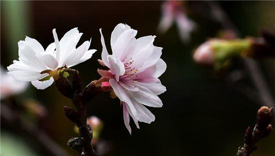 가을 벚꽃