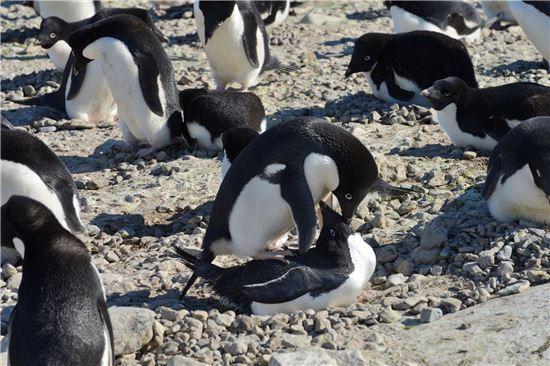 ▲황제펭귄과 함께 남극을 지켜 온 아델리 펭귄이 짝짓기를 하고 있다.[시진제공=극지연구소]