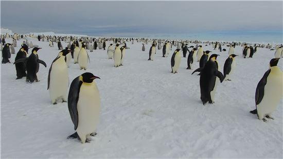 ▲황제펭귄은 남극의 아이콘이다.