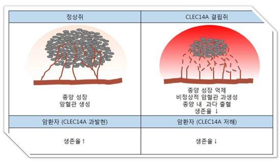 ▲CLEC14A 결핍쥐에 종양 세포를 주입하면 종양 성장은 억제되는데 암 혈관 형성이 더 비정상적으로 증가되고 암 혈관 내피세포 접합이 더욱 부실하게 돼 그 주변으로 출혈이 일어나고 생존율이 감소된다.[사진제공=미래부]