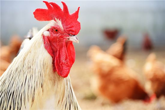 닭(사진=게티이미지뱅크)
